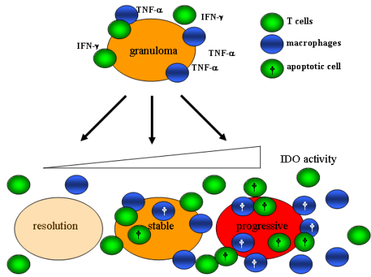 Figure 2: Schematic representation of the working hypothesis for granulomatous IDO.